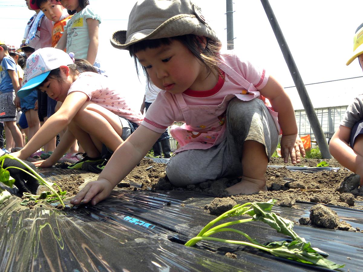 さつまいもを植えている女の子の写真