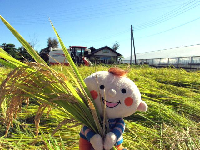 稲穂の田んぼとほぺたんの写真