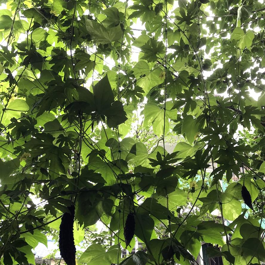 2018年度の取り組み Y.Yさん(宇都宮市)のグリーンカーテン